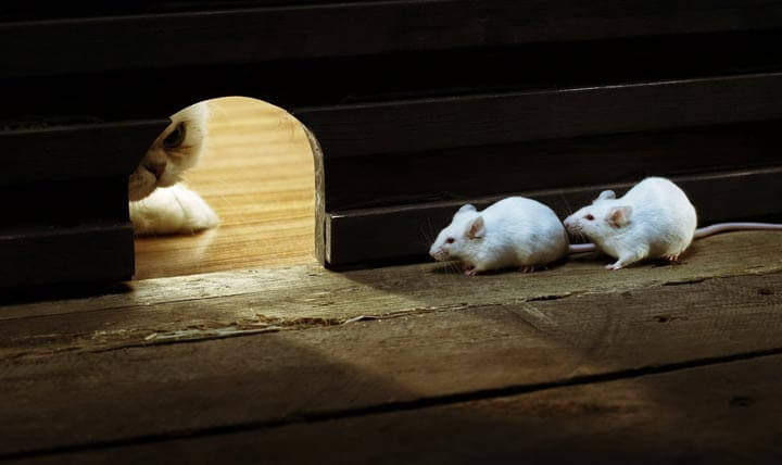 Борьба с грызунами в каркасном доме с помощью кота.
